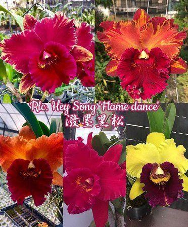 орхидея каттлея Rhyncholaeliocattleya Hey Song 'Flame dance'