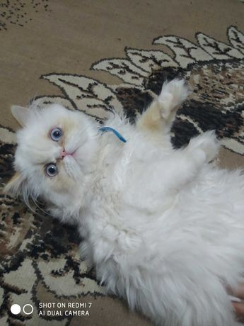 Кіт Перс 5,5 місяців