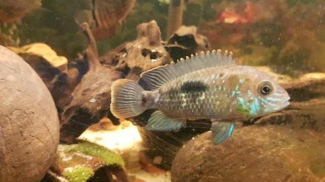Peixe Ciclídeo Green terror