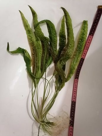 Растение для аквариума Крептокарина 50см