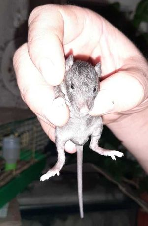 Бронируем крысок-сфинксов