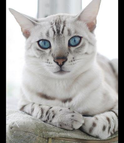 Снежный Бенгальский кот.  Бронь