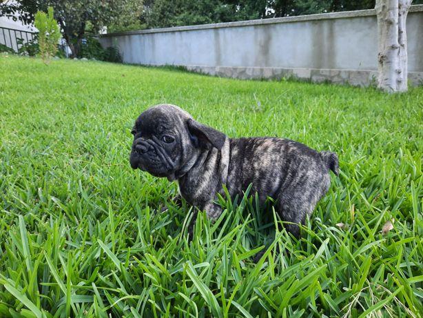 .Bulldog francês