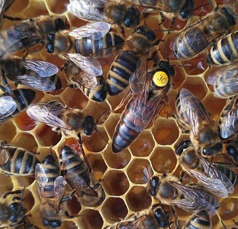 Низкие цены! Плодные. Матки. Пчелиная матка породы Карпатка 2021г.
