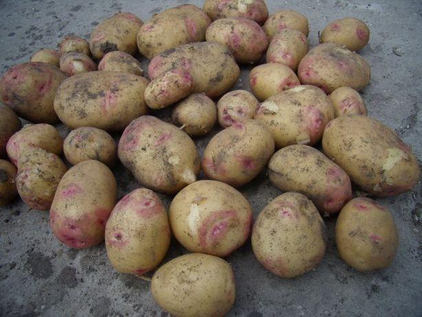 Продам картоплю сорт Пікассо