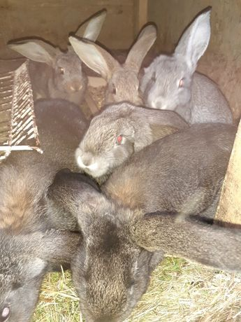 Sprzedam młode króliki 2,5 miesiąca