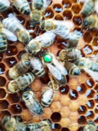 Matki pszczele unasienione ,pszczoły, sezon 2021,