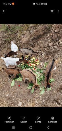 Cabras Anãs (Dois machos e uma femea)