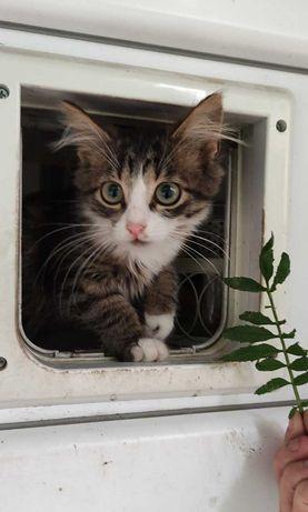 Пухнасте мейн-кунисте котеня! 2,5 міс.