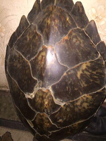 Продается панцирь морской черепахи,