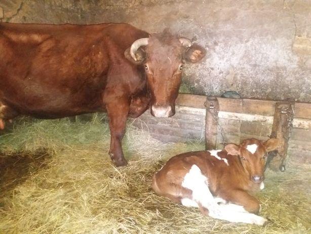 Продам корову на хозяйство!