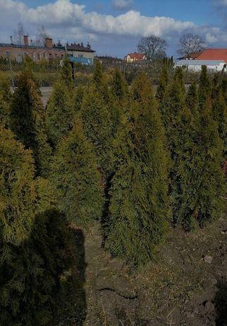 Thuja occidentalis SMARAGD , thuje, tuja Szmaragd 120 cm