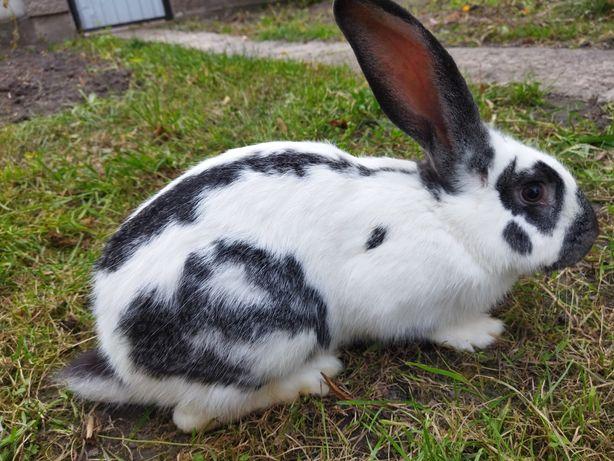 Кроль кролики метелик