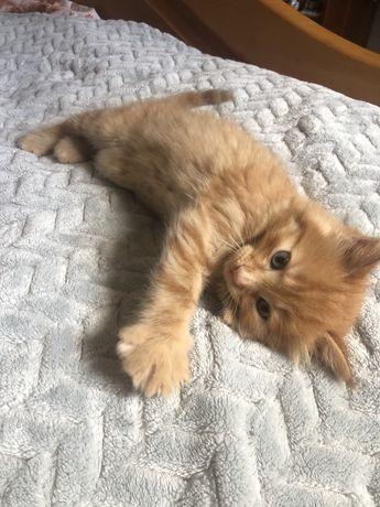 Котенок рыжий