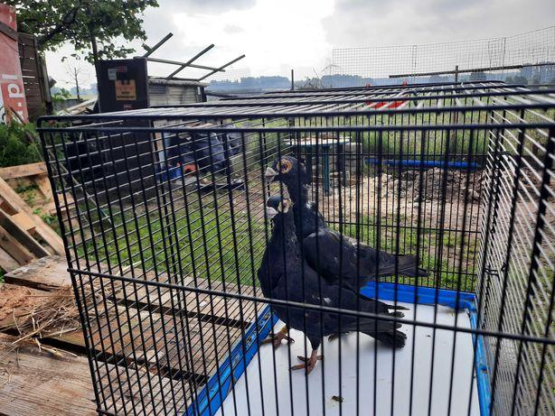 Gołębie brodawczak