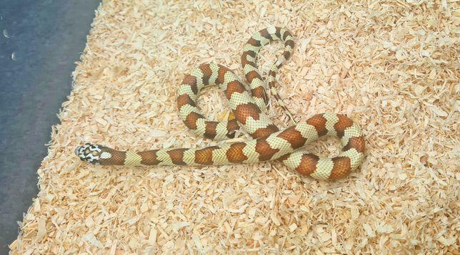 Wąż hybryda dla początkujących samiec lampropeltis meansi floridana