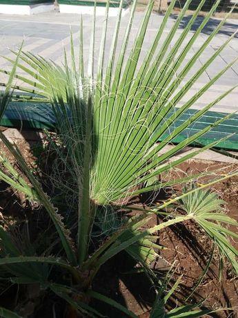 Пальма  Вашингтония семена