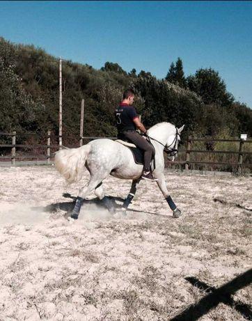 Cavalo inteiro Andaluz