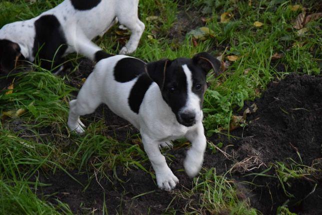 Suczka Jack Russel Terrier TRICOLOR