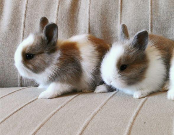 KIT completo coelhos anões mini desparasitados e vacinados