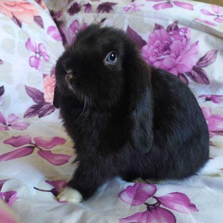 Карликовый баранчик ,голубоглазый кролик,minilop,nhd,вислоухий кролик