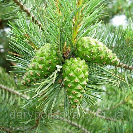 Зеленая шишка сосны, молодая зеленая сосновая шишка, шишка зелёная