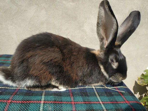 Кролииця Кролі, самки породи Білоості вік 6.5 міс