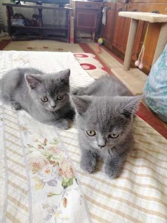 Продам кошенят 2 дівчинки британки