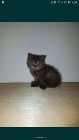 Шикарный шотландский котёнок