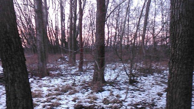 Sprzedam drzewo w lesie topole