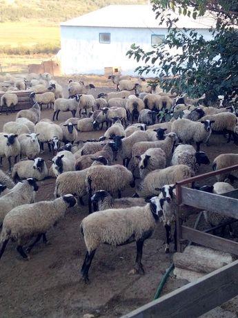 Романовские бараны ярки овцы