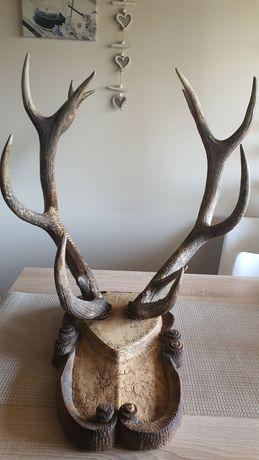 Poroże z jelenia