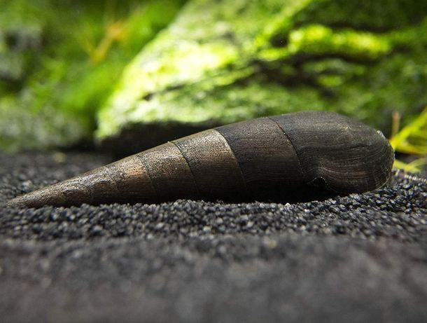 Ślimak Tylomelania Black Devil - Sklep Zoologiczny