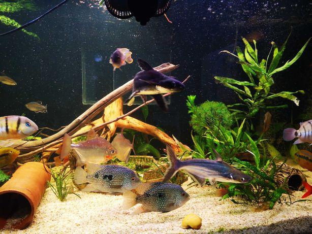 Ryby akwariowe sum rekini