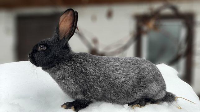 Кролики породи полтавське срібло