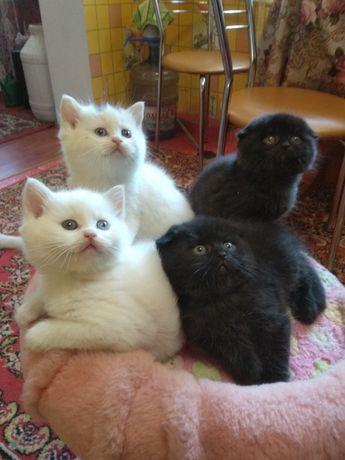 Кошенята Британські