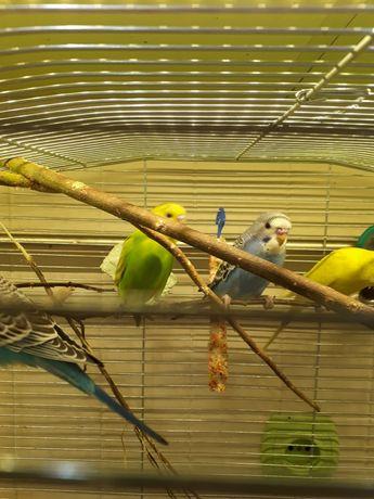 Папуга хвилястий