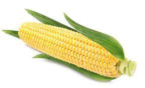 Nasiona Kukurydzy SY Amfora Fao 260/270 50 tys nasion