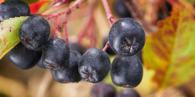Swieza aronia - owoc mlodosci