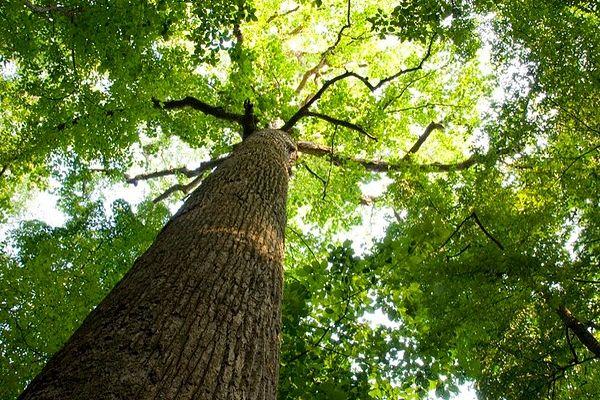 Продам тополю дерево, ярмолинці, хмельницька область.