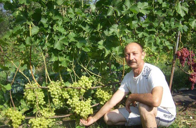 саженцы ранних европейских сортов винограда