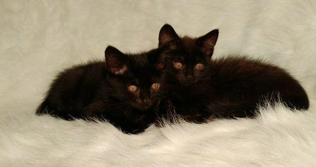 Котята британские Невероятно красивые , С янтарными глазами.