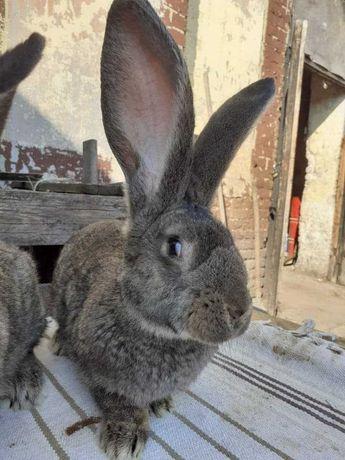 Sprzedam króliki bosy