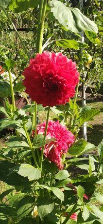 Dalia Georginia Mix kształtów i kolorów kwiatów