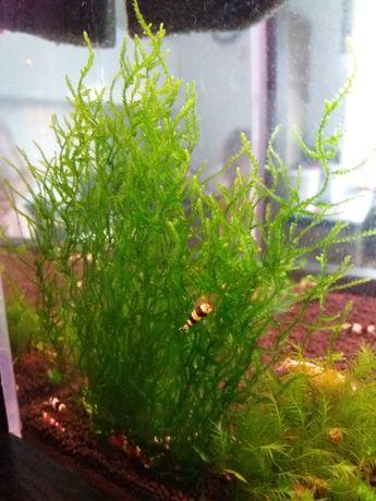 Mech Flame Moss kępa 5x5cm GRATIS czwarta kępa