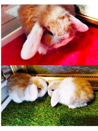 Очень красивые кролики баранчики малыши