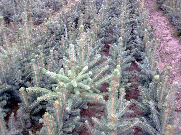 Ель голубая Glauca Kaibab (Свежие семена, саженцы 2-3) ялинка насіння