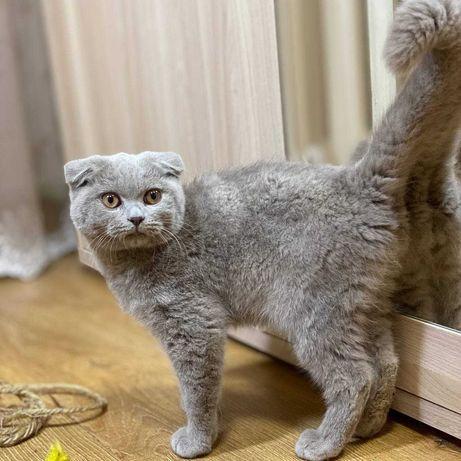 Вислоухий мальчик котенок, котята шотландские фолд