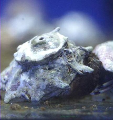 Ślimak Astrea phoebia (Ninja star snail) idealny na glony