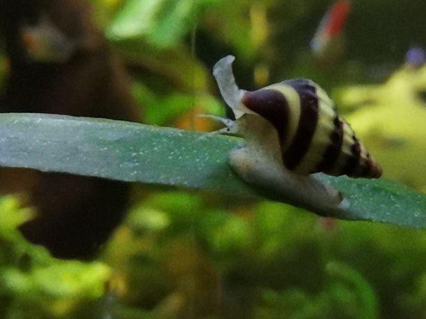 Ślimak Helenka - eliminuje inne ślimaki